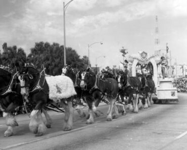 Free! See the Budweiser Clydesdales in Orlando!