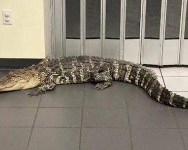 7 Foot Alligator Scares Customer Inside Florida Post Office